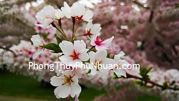06ea187c8bflower.jpg Thành – bại cũng tại Đào hoa