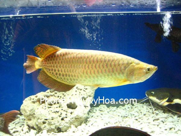 414de2029247qn61.jpg Lưu ý khi nuôi cá Kim Long